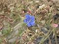 加州藍鐘花 Phacelia campanularia -倫敦植物園 Kew Gardens, London- (9200909512).jpg