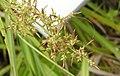 十字薹草 Carex cruciata -香港濕地公園 Hong Kong Wetland Park- (9259214241).jpg