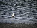 埃及聖䴉飛翔 淡水河紅樹林自然保留區 ID:17753 Youngson Ho 145696.jpg
