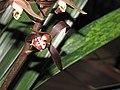 報歲圖斑 Cymbidium sinense 'Picture by Spots' -香港沙田國蘭展 Shatin Orchid Show, Hong Kong- (12221140523).jpg