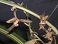 報歲筑紫之華 Cymbidium sinense -香港沙田國蘭展 Shatin Orchid Show, Hong Kong- (12248270586).jpg