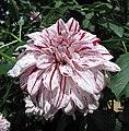 大麗花-裝飾型 Dahlia 'Decorative' -新加坡濱海灣花園 Gardens by the Bay, Singapore- (24207920773).jpg