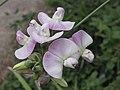 寬葉香豌豆 Lathyrus latifolius -英格蘭 Wisley Gardens, England- (9198132039).jpg