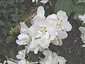 山梅花 Philadelphus Dame Blanche -英格蘭 Wisley Gardens, England- (9229875838).jpg