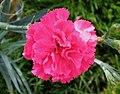 康乃馨 Dianthus caryophyllus -香港花展 Hong Kong Flower Show- (9450626234).jpg
