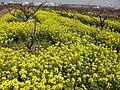新场的油菜花 - panoramio.jpg