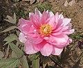 日本牡丹-八千代椿 Paeonia suffruticosa Yachiyo-tsubaki -武漢東湖牡丹園 Wuhan, China- (12427796025).jpg