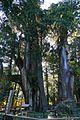 杉の大スギ.jpg