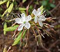 杜香 Ledum palustre -比利時 Leuven Botanical Garden, Belgium- (9229874684).jpg