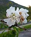 歐洲甜櫻桃-重瓣 Prunus avium 'Plena' -挪威 Loen, Norway- (35529706804).jpg