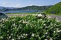 海水仙 Pancratium zeylanicum - panoramio.jpg