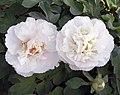 牡丹-金玉良緣 Paeonia papaveracea 'Gold-Jade Happy-Match' -洛陽國家牡丹園 Luoyang, China- (12537118085).jpg