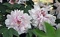 牡丹-雪映桃花 Paeonia suffruticosa 'Peach-Flower Snow-shone' -武漢東湖牡丹園 Wuhan, China- (12537117145).jpg