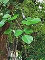 膠蟲樹 Butea monosperma 20201006101809 01.jpg