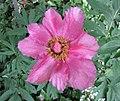 芍藥屬 Paeonia mascula v arietina -比利時 Leuven Botanical Garden, Belgium- (9157035855).jpg
