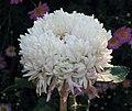 菊花-唐宇秋雲 Chrysanthemum morifolium 'Autumn Cloud' -中山小欖菊花會 Xiaolan Chrysanthemum Show, China- (11961617964).jpg