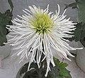 菊花-白鋼管 Chrysanthemum morifolium 'White Steel Tubes' -香港圓玄學院 Hong Kong Yuen Yuen Institute- (12010293424).jpg