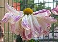 菊花-粉十八 Chrysanthemum morifolium 'Pink Eighteen' -香港圓玄學院 Hong Kong Yuen Yuen Institute- (12027169356).jpg