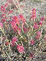 -0591 Anabasis articulata, désert d'Almeria, Espagne P1110397.JPG
