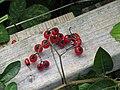 -2018-08-19 Fruit of bittersweet nightshade (Solanum dulcamara), Gimingham.JPG