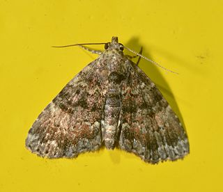<i>Metalectra richardsi</i> species of insect