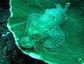 0102RajaAmpatS - 11 sleepy scorpionfish (5555622547).jpg