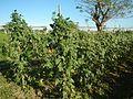 01825jfPaddy fields Arterial Road Bypass Tambubong Caingin, San Rafael, Bulacanfvf 21.jpg