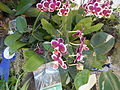 05525jfMidyear Philippine Orchid Show Circle Quezon Cityfvf 30.JPG