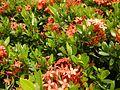 09019jfClose-ups of butterflies on flowers Bulacanfvf 03.jpg