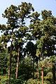 0 Cryptomeria japonica - Kalmthout (1).JPG