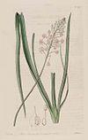 1029 Barnardia japonica