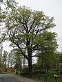 11 Stieleiche in Mulmshorn Kreis Rothenburg Wümme Niedersachsen.jpg