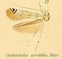 12-Cyphosticha acrolitha Meyrick, 1908.JPG