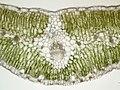 140330 Launaea arborescens - Blatt quer 100x B13.8 ZSD14.jpg