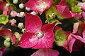 151-365 Begonia en flor (14125110630).jpg