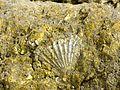 16-05-2017 Fossil on Praia da Balbina (2).JPG
