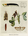 17-Indian-Insect-Life - Harold Maxwell-Lefroy - Anarsia-ephippias.jpg