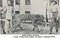 1909 年在福建梅花山被猎杀的华南虎.jpg
