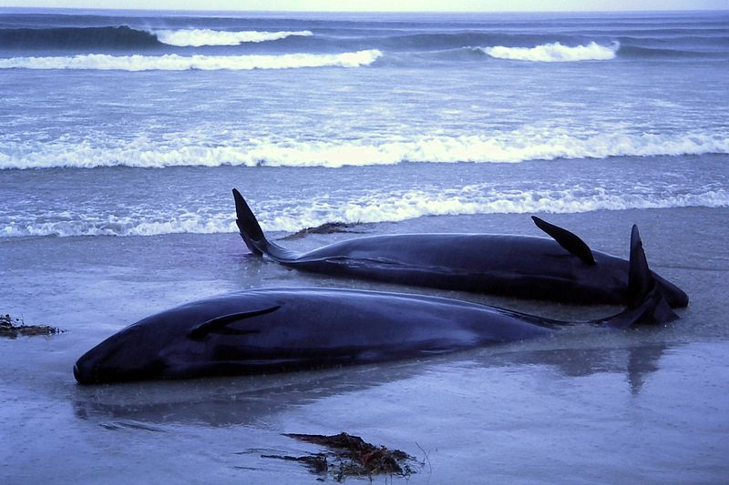 File:1986 beached whales in Flinders Bay (4).JPG