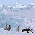 2007 Snow-Hill-Island Luyten-De-Hauwere-Emperor-Penguin-32.jpg