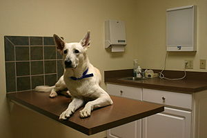 A White German Shepherd dog awaiting a check-u...