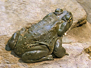 Coloradokröte (Bufo alvarius)