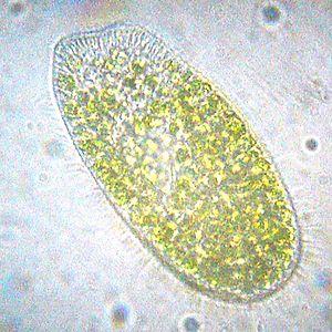 Paramecium bursaria - Image: 20090719 062218 Paramecium Bursaria