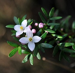 20110903 Boronia imlayensis 2.jpg