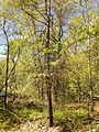 2013-05-06 14 55 32 Unhealthy Eastern Hemlock (Tsuga canadensis) along the Ghost Lake Trail in Jenny Jump State Forest.JPG