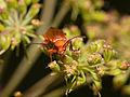 2013-08-15 15-43-57-Cantharidae.jpg