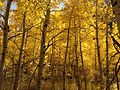 2013-10-11 13 31 40 Aspens along Lamoille Canyon Road.JPG