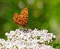 2014-06-26 12-47-17 Brenthis daphne.jpg