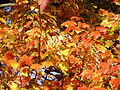 2014-10-30 09 38 33 Red Maple foliage during autumn in Ewing, New Jersey.JPG