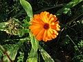 20141003Calendula officinalis5.jpg
